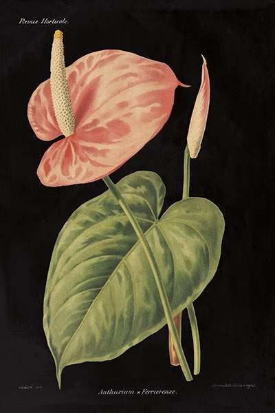 Anthurium Ferrierense on Black