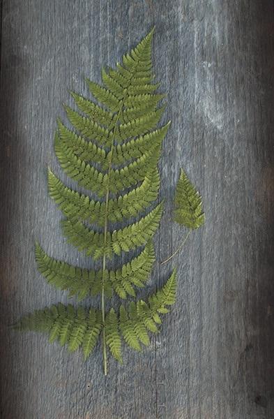 Woodland Fern V