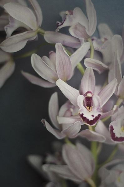 Dark Orchid II