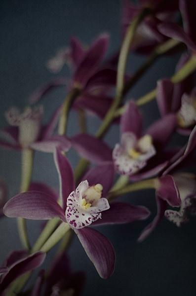 Dark Orchid III