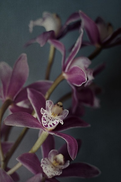 Dark Orchid IV