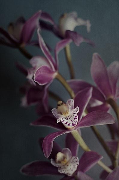 Dark Orchid IV v.2