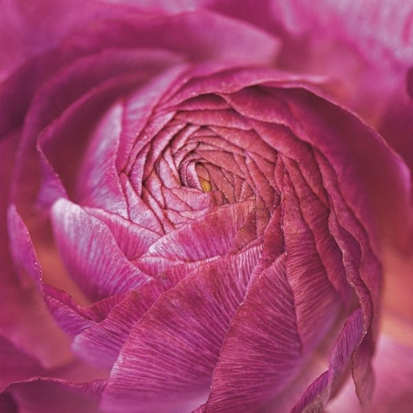 Ranunculus Abstract II Color