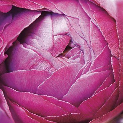 Ranunculus Abstract III Color