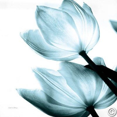 Translucent Tulips II Sq Aqua Crop