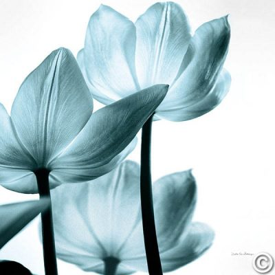 Translucent Tulips III Sq Aqua Crop
