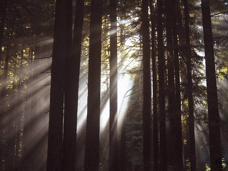 W16353 - Sunlight Through the Woods I